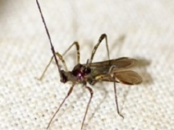 sb-Bọ xít muỗi hại ổi