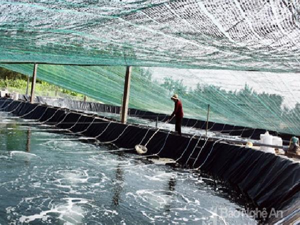 Kĩ thuật nuôi tôm mùa nóng tránh tôm chết hàng loạt