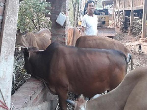 Một số kinh nghiệm phòng và trị bệnh tụ huyết trùng trâu bò