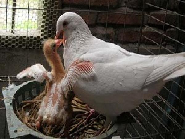 N-Để chim bồ câu pháp nuôi công nghiêp đẻ lại nhanh khi con đã nở