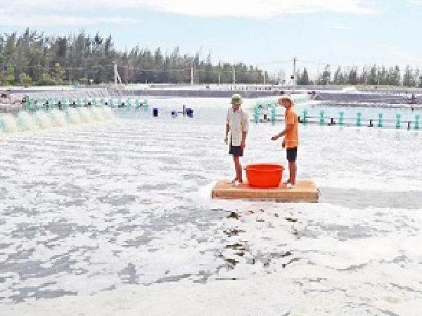 Đầu tư 20 tỷ nuôi tôm trên cát để lãi ròng 10 tỷ/năm