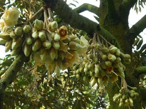CS-5 bước xử lý ra hoa trên cây Sầu riêng
