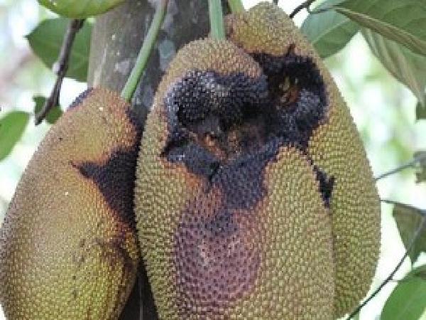 SB-Biện pháp phòng trị ruồi vàng gây thối, rụng trái mít