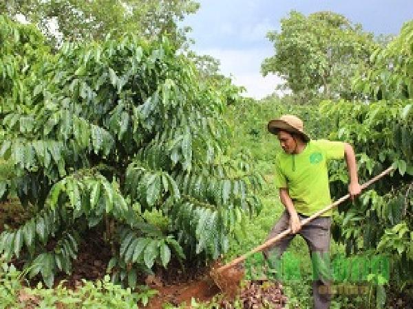 CS-Chăm sóc cà phê giai đoạn đầu mùa mưa