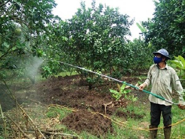 Không chủ quan với nạn ruồi vàng tấn công trái cây