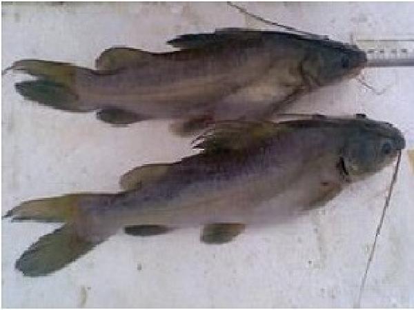 CB-Một số biện pháp phòng, trị bệnh cho cá lăng vàng nuôi lồng