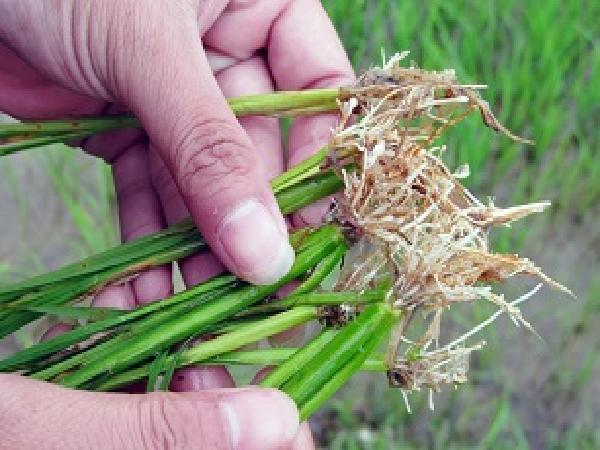 SB-Một số kinh nghiệm phòng trừ tuyến trùng hại rễ trên cây lúa