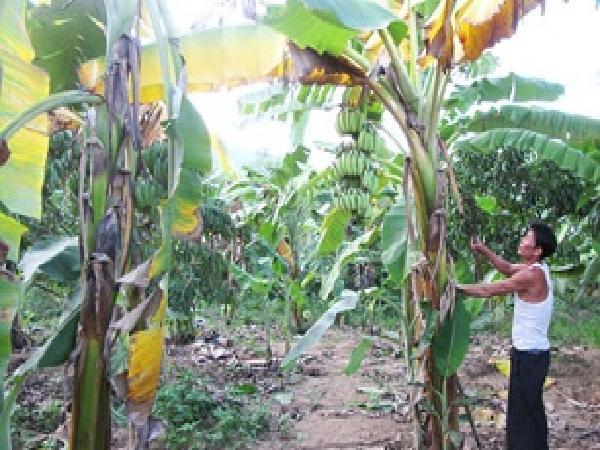 SB-Bệnh vàng lá Panama trên cây chuối và giải pháp phòng ngừa