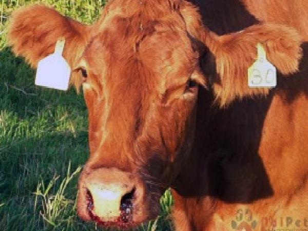 CB-Cách phòng và điều trị bệnh nhiệt thán ở trâu bò
