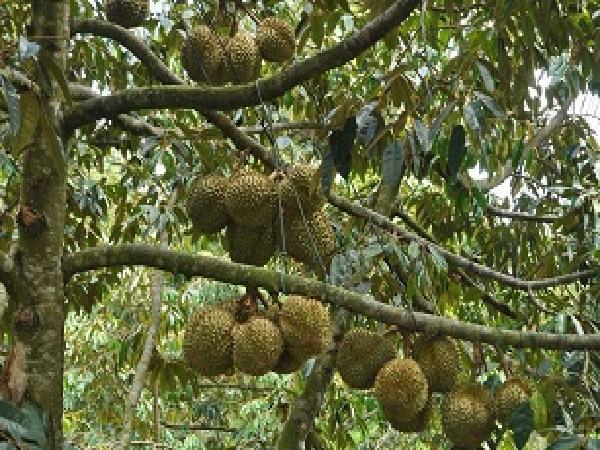Cơn sốt trồng sầu riêng ở Tây Nguyên – Nguy cơ chung số phận với hồ tiêu