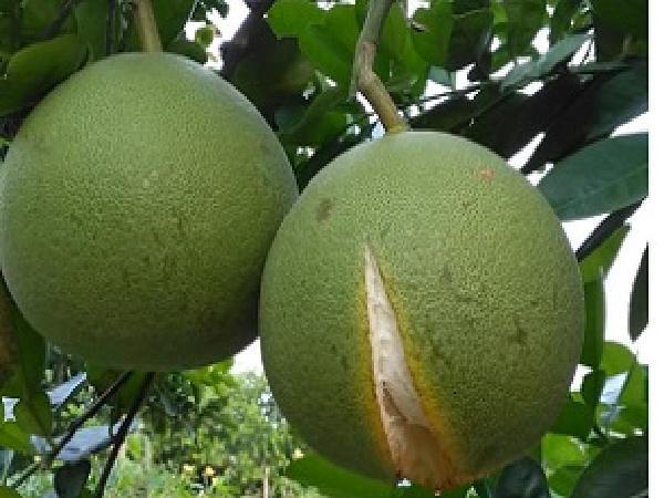 SB-Triệu chứng nứt trái trên cây có múi – Biện pháp phòng trừ