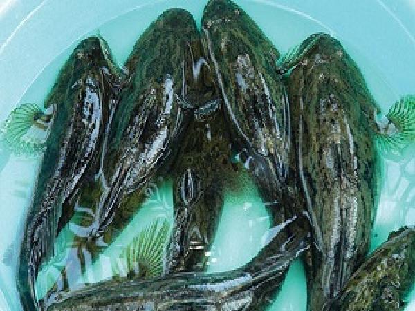 Kinh nghiệm chọn cá bống tượng giống