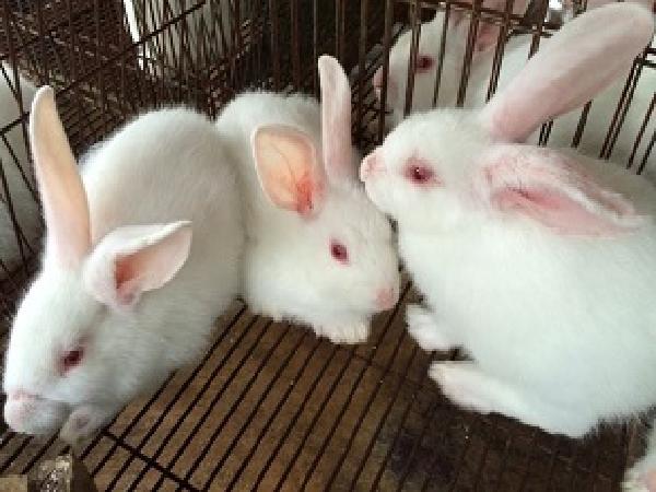N-Kĩ thuật phối giống cho thỏ