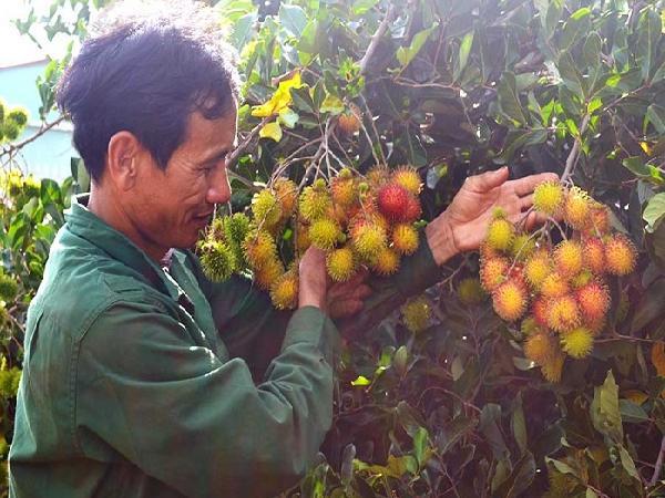 Gia Lai: Thu bạc tỷ từ cây ăn quả