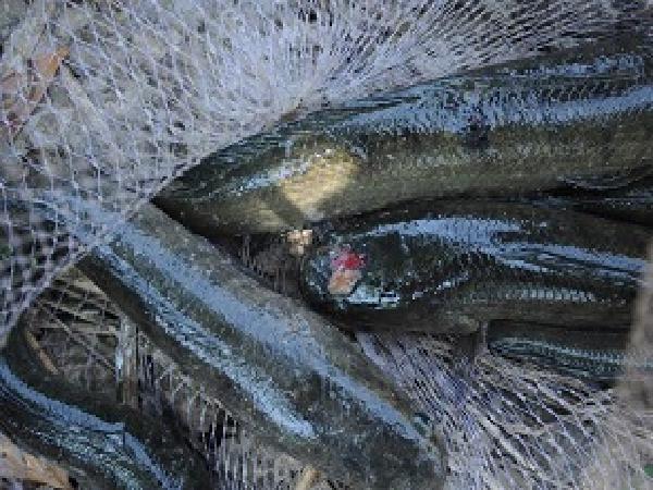CB-Bệnh lở loét trên cá lóc