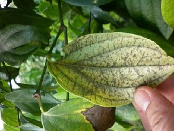 SB-Bệnh vàng lá trên cây tiêu và biện pháp phòng trừ