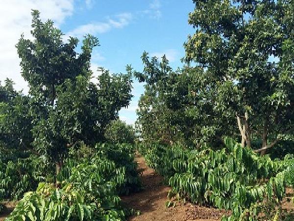 Trồng xen canh cây ăn quả – Giải pháp hiệu quả khi cà phê, hồ tiêu xuống giá