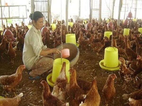 N-Công thức khẩu phần ăn nuôi gà
