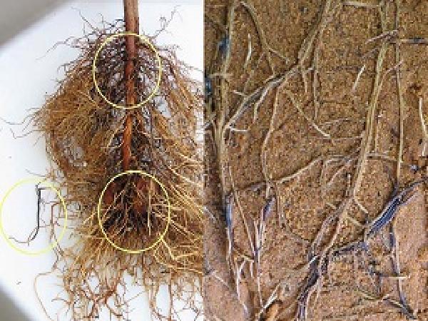 SB-Cách phòng trừ bệnh thối rễ trên cây bơ hiệu quả