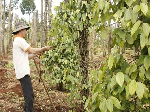 Đồng Nai: Cây trồng liên tiếp bị dịch bệnh
