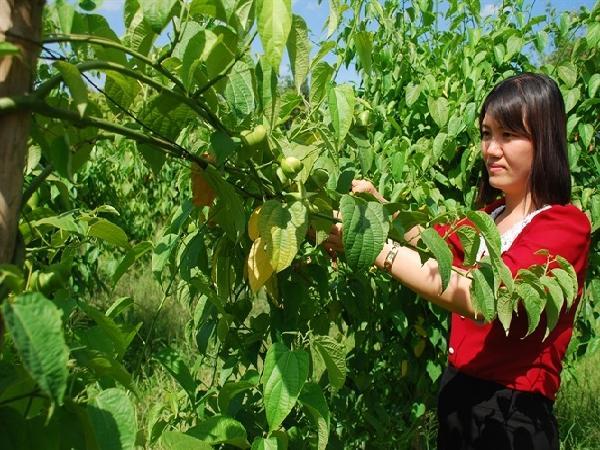 Giống cây mới ở Việt Nam: Sachi - vua của các loại hạt