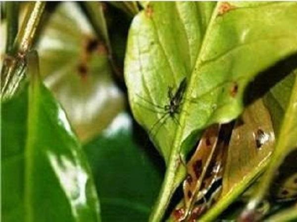 SB-Bọ xít muỗi hại cây cà phê chè và biện pháp phòng trừ
