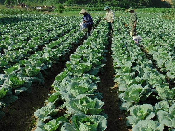 CS-Các biện pháp kỹ thuật cần chú ý trong sản xuất cây trồng vụ đông