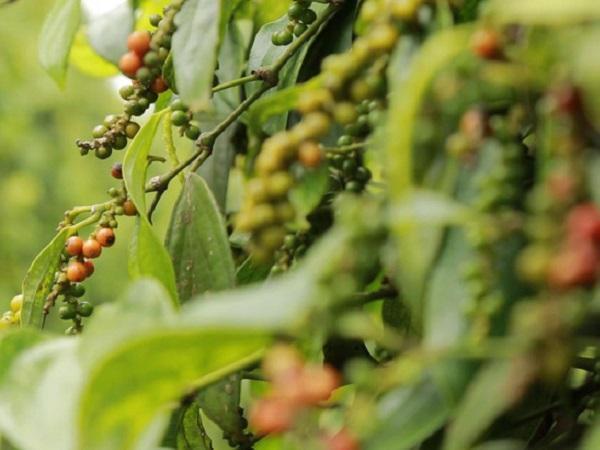 """Giá nông sản hôm nay 3/10: Giá cà phê tăng """"sốc""""; nông dân dần bỏ hồ tiêu"""