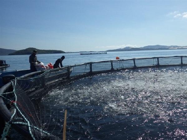 CB-Tìm hiểu về bệnh ở cá ngừ nuôi lồng và biện pháp phòng trị