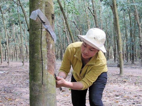 SB-Bệnh khô miệng cạo trên cây cao su: Phòng là chính