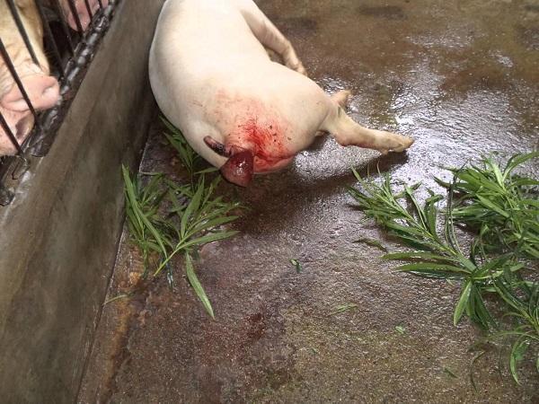 CB-Cách xử lý heo (lợn) bị lòi dom