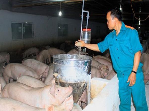Nông dân bỏ tiền tỷ để được nuôi lợn thuê