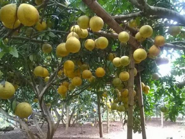 CS-Kỹ thuật trồng cam, quýt hữu cơ