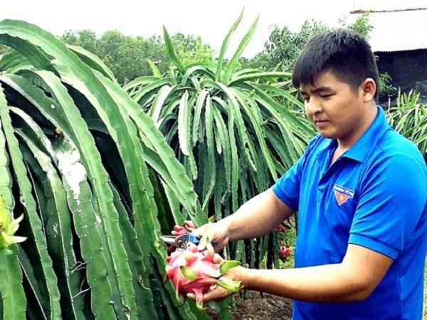 CS-Cách trồng thanh long ruột đỏ an toàn