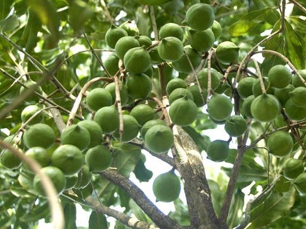 CS-Kỹ thuật trồng, chăm sóc cây mắc ca
