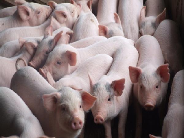 Doanh nghiệp điều chỉnh giá lợn hơi, giá tại miền Nam tăng