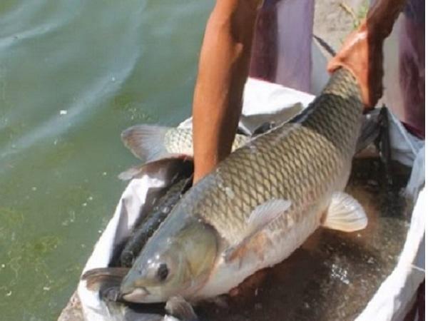 CB-Phòng và trị bệnh đường ruột trên cá trắm cỏ