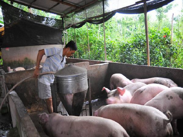12 doanh nghiệp cam kết giảm giá thu mua lợn hơi trên cả nước