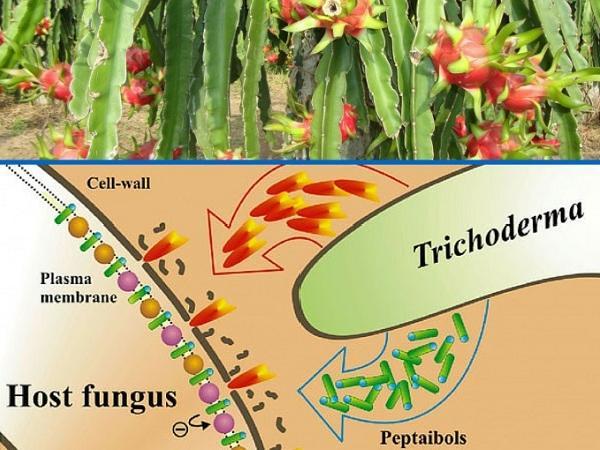 CS-Kinh nghiệm sử dụng nấm đối kháng Trichoderma phòng chống bệnh chết rũ