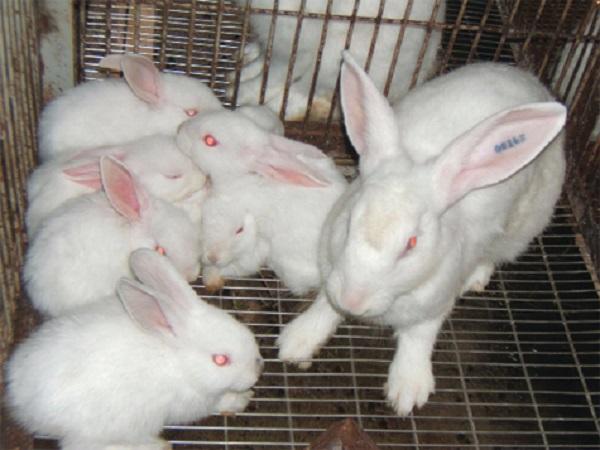 N-Một số giống thỏ nội