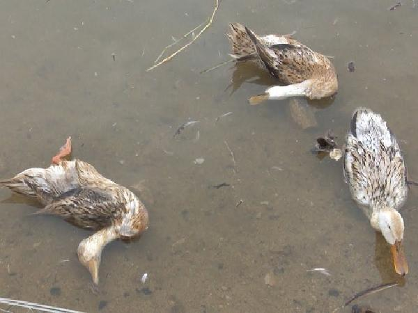 Nguy cơ lây cúm gia cầm từ việc vứt xác động vật chết xuống kênh, rạch