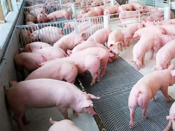 N-Thay thế kháng sinh bằng chế phẩm tannin (polyphenol) trong thức ăn heo thịt