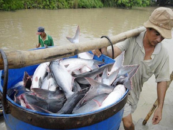 Giá cá tra tăng đột biến: thêm bất lợi cho xuất khẩu
