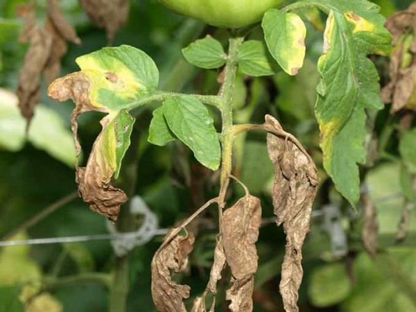 SB-Một số loại bệnh hại trên cây cà chua và biện pháp phòng trừ (Phần 1)