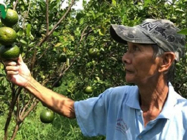 Giá cam sành liên tiếp sụt giảm, người trồng lỗ nặng