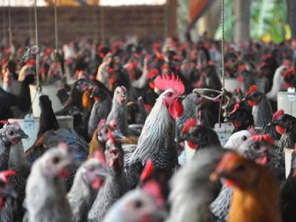 N-Kỹ thuật chăn nuôi và phòng trừ dịch bệnh với giống gà ai cập