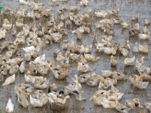 Vứt xác gia súc gia cầm chết ra môi trường bị xử lí như thế nào?