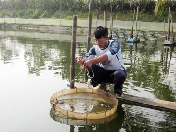 NT-Vì sao nuôi cua biển tỷ lệ sống thường thấp và giải pháp
