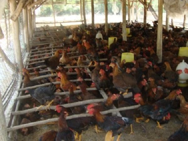N-Các tiêu chuẩn môi trường trong chăn nuôi gà