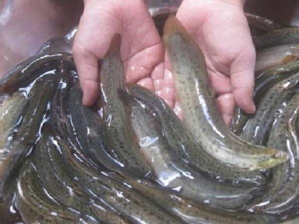 NT-Kỹ thuật nuôi cá chạch phát triển kinh tế không cần lo vốn lớn